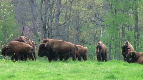 American Buffalo Grazing Stock Video Footage