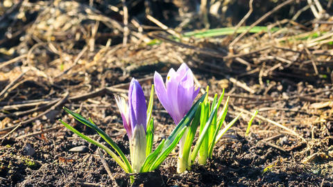 Crocuses grow in the spring. Time Lapse. 4K Footage