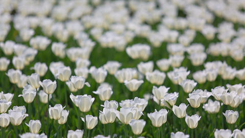 field of white tulips blooming - shallow depth of  Live Action