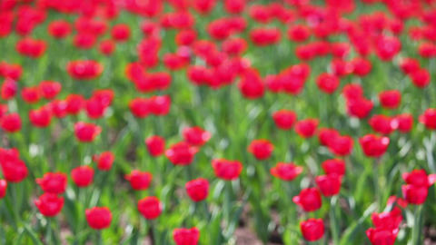 field of red tulips blooming - rack focus Footage
