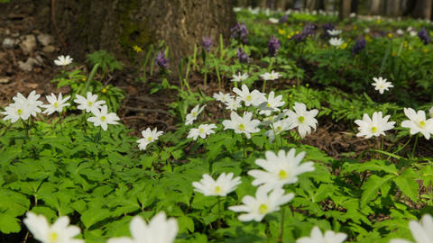 white flowers anemones in spring wood - slider dol Footage