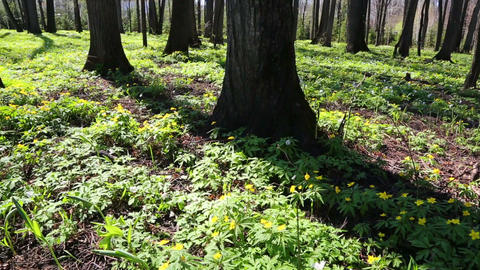 spring wood landscape with white flowers anemones  Footage