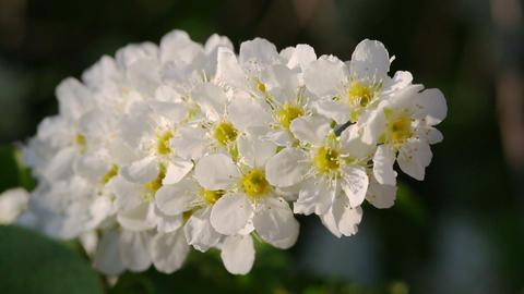 blossom bird cherry tree flowers macro Footage