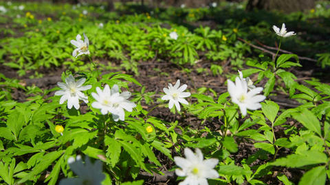 White Flowers Anemones In Spring Wood - Slider Dol stock footage