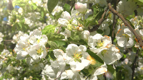 4k blossoming apple-tree Footage