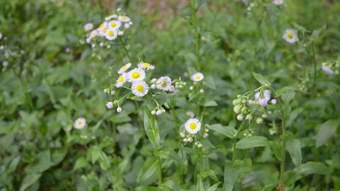 Flower of Erigeron,in Takanodai Park,Tokyo,Japan Footage