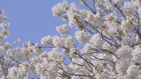 Cherry blossoms,in Yamanashi,Japan Footage