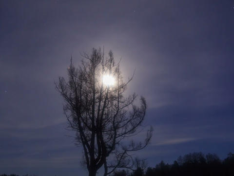 Larch branches in the moonlight. Time Lapse. 640x4 Footage