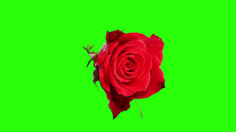 Blooming red roses flower buds green screen, FULL  Footage