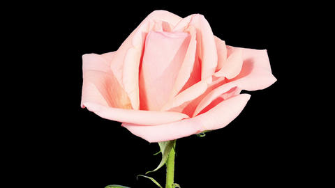 Blooming pink roses flower buds ALPHA matte, FULL  Footage