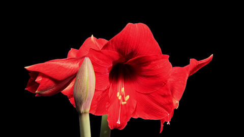 Growth of red hippeastrum flower buds ALPHA matte, Live Action