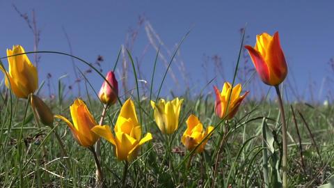 Wild Steppe Tulip Footage