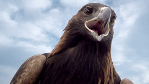 Bird of Prey Against the Sky HD Footage