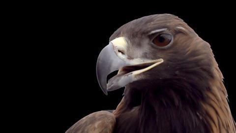 Golden eagle on a transparent background Footage