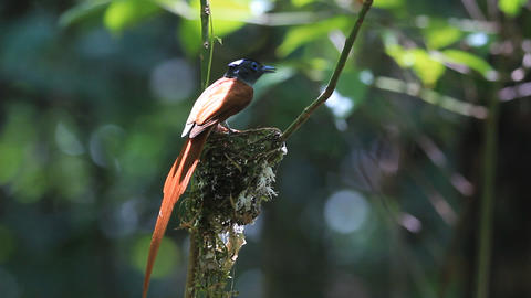 Asian Paradise Flycatcher (White morph.) Footage