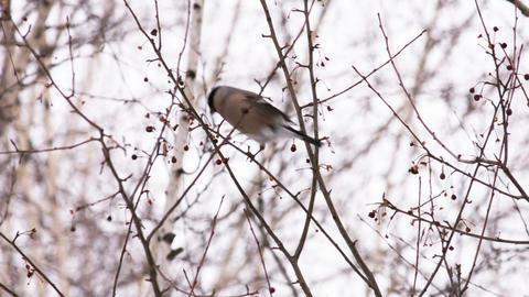 Bullfinch 2 Footage