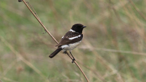 Stonechat 2 Live Action