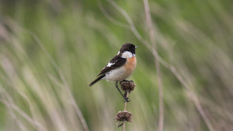 Stonechat 4 Footage