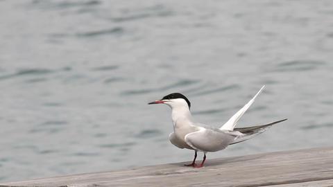 Gulls 2 Footage