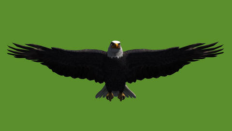 Eagle inciting wings flying gliding,haliaeetus leucocephalus bird animal Live Action