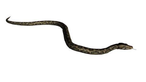 Snake&jungle carpet python slide attack,sliding decorative non venomous Footage