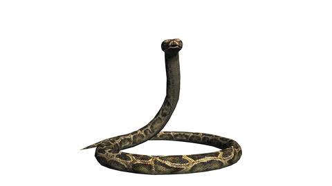 Snake & jungle carpet python attack,sliding decorative non venomous,wild ani Footage