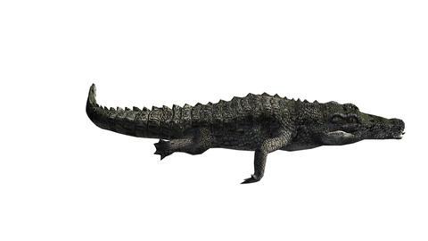 Crocodile swaying body swimming,Dangerous animals Footage