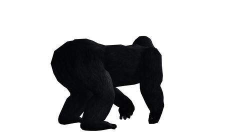 Chimp & Chimpanzee Howl Roaring,Endangered Wild Mo stock footage