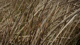Long wild grass Footage