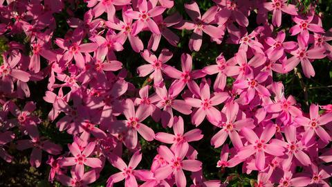 Purple flowers. 4K Footage