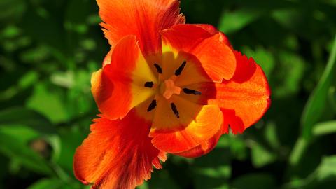 Red Tulip. 4K Footage