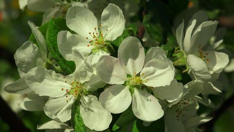Apple blossom. 4K Footage