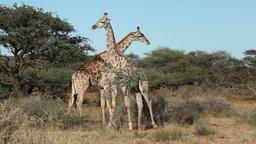 Fighting giraffes Footage