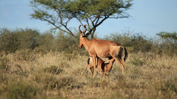 Red hartebeest and calf Footage