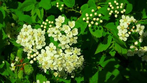 The bird cherry. White flowers. 4K Footage