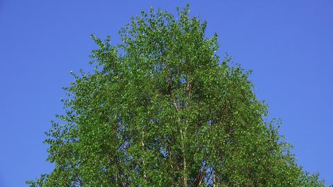 Crohn's birch. 4K Footage
