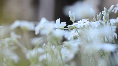 White Flowers Macro stock footage