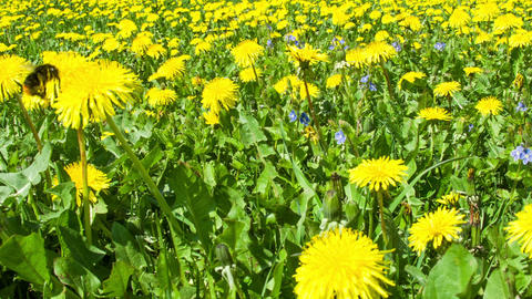 Dandelion field and bumblebee Footage