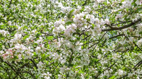 Apple tree garden Footage