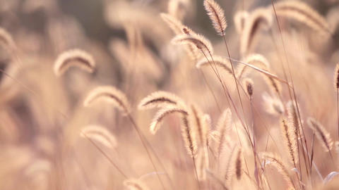 dog tail grass in the sunshine of autumn; Live Action