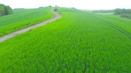 Field of green wheat Footage