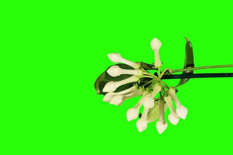 4K. Time-lapse opening white stephanotis flower bu Footage