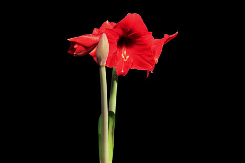 4K. Growth of red hippeastrum flower buds ALPHA ma Footage
