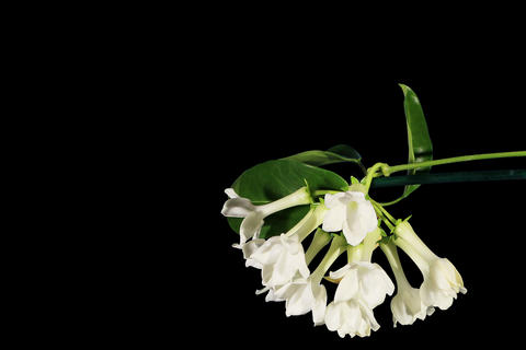 4K. Time-lapse opening white stephanotis flower bu Footage