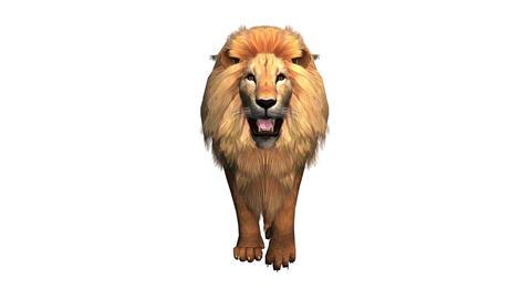 Lion fast walk,Endangered wild animal wildlife walking Stock Video Footage