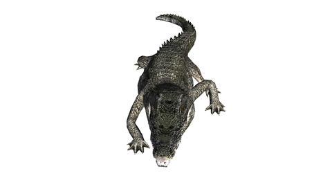 Crocodile swaying body climb crawling,Dangerous animals Stock Video Footage