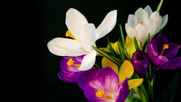 Flowers bouquet , purple, white Yellow crocuses bloom Footage