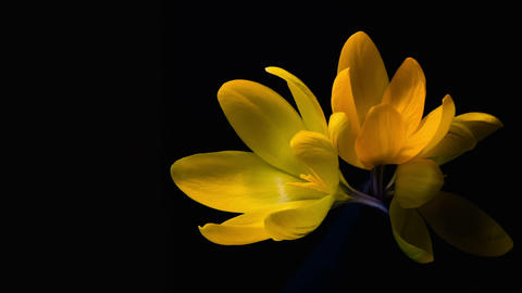 Yellow crocuses bloom. Time lapse in studio Footage