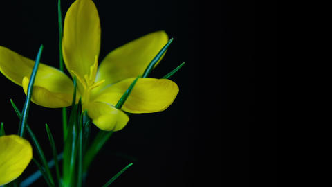 Yellow crocuses bloom. Time lapse Footage