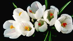 white crocus blossom Footage